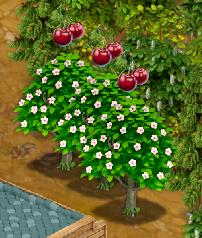 Ready Cherry Tree