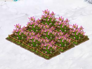 edelweiss-grown